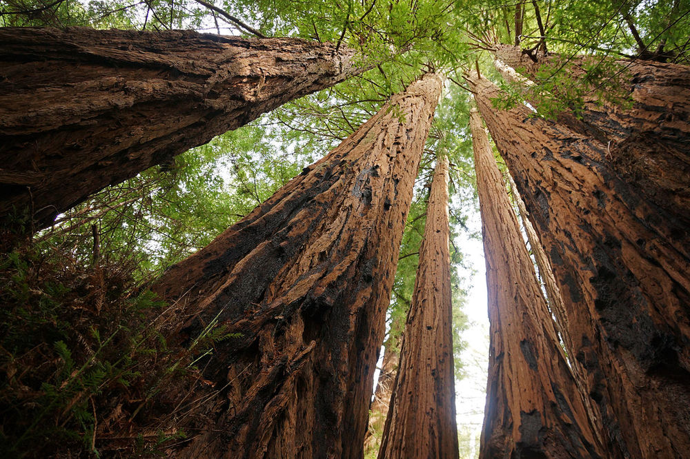 GIANT SEQUOIA SURPRISE (article)