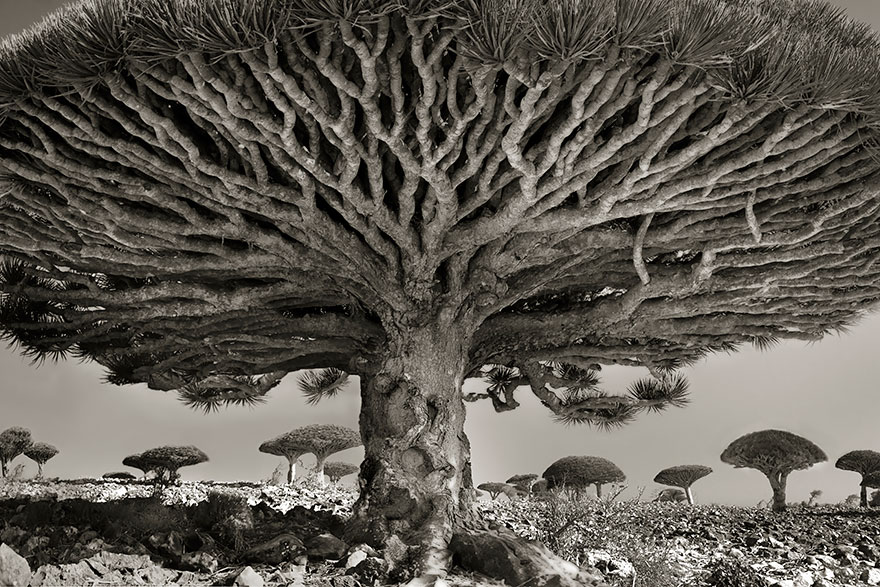 ANCIENT TREES (photos)