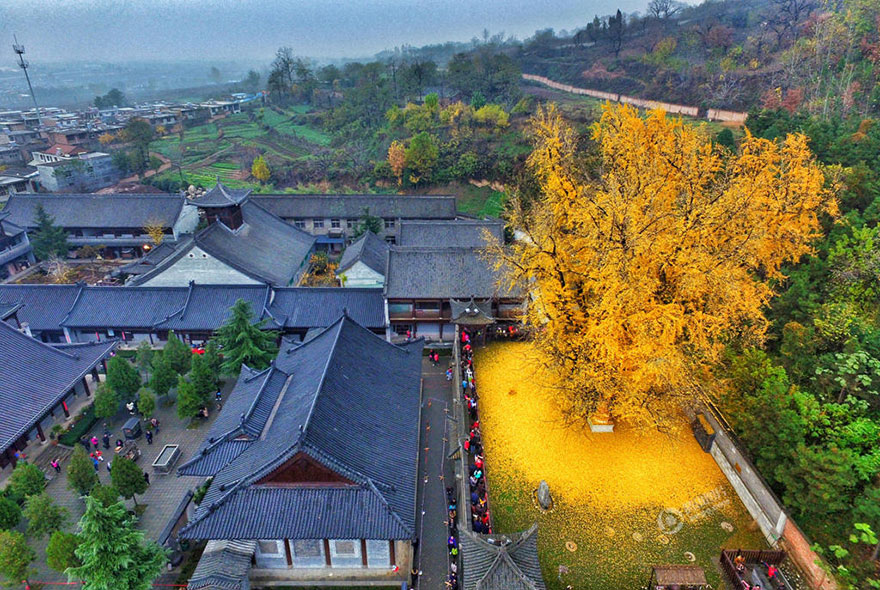 YELLOW LEAVES RAIN ON BUDDHIST TEMPLE (photos)
