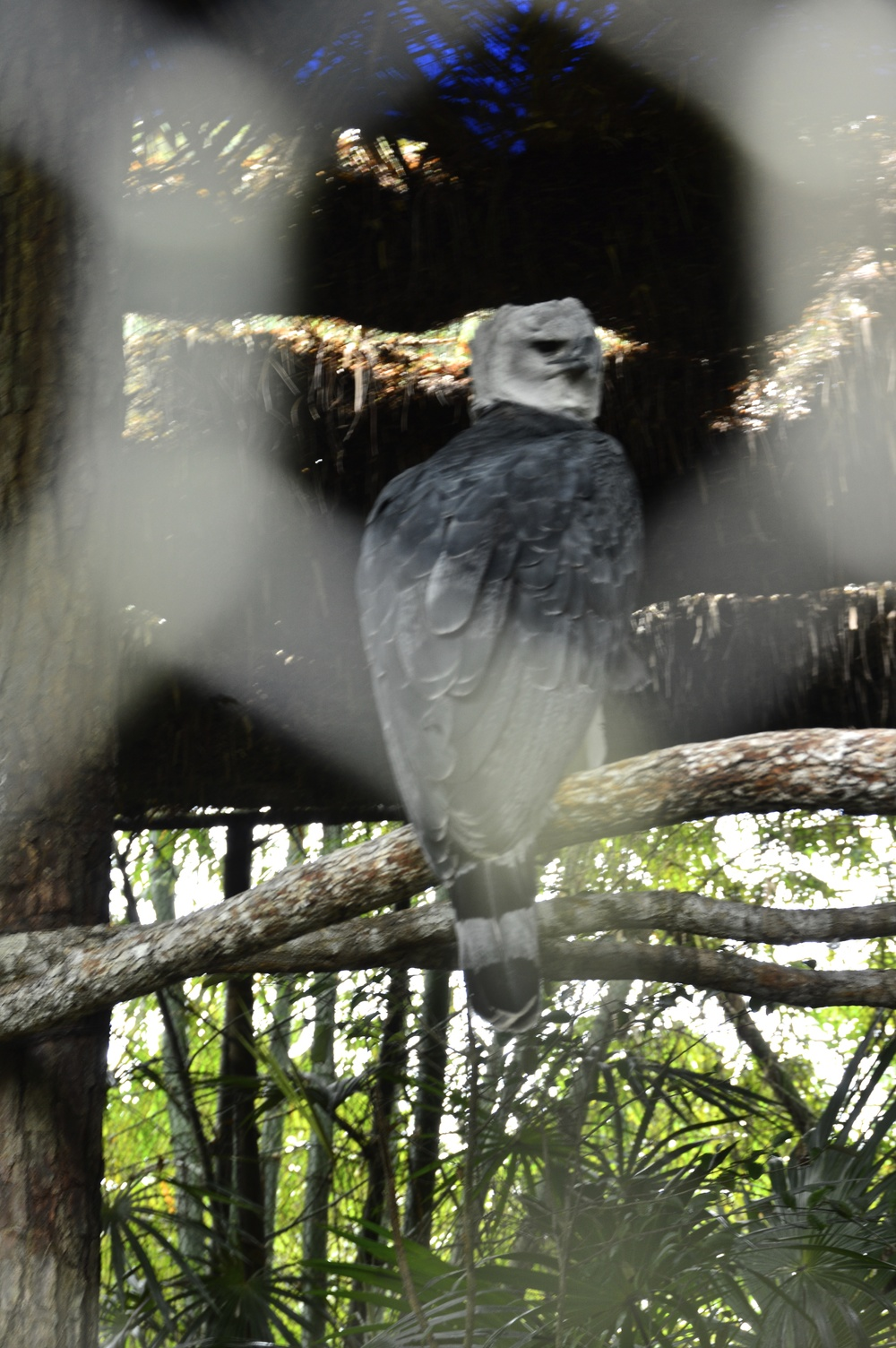 "the ""harpy"" eagle"