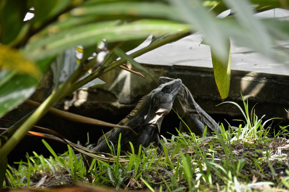 pool iguanas