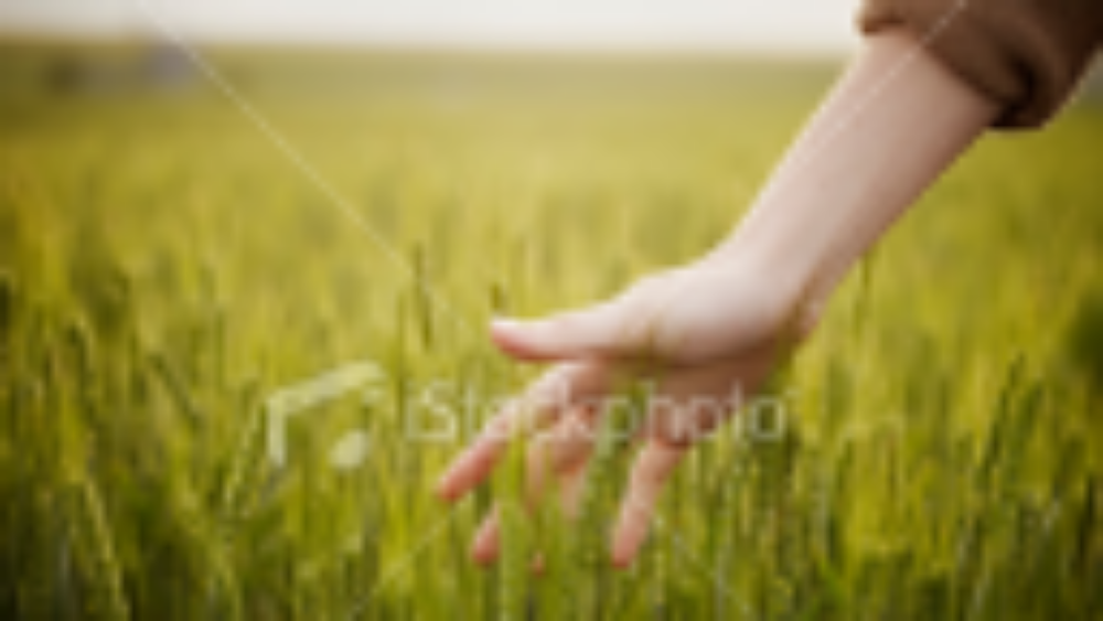 stock-photo-20428802-woman-s-hand-touching-wheat-in-field.jpg