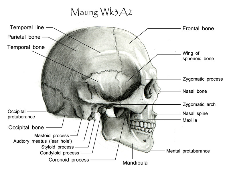 skull-side_labeled.jpg