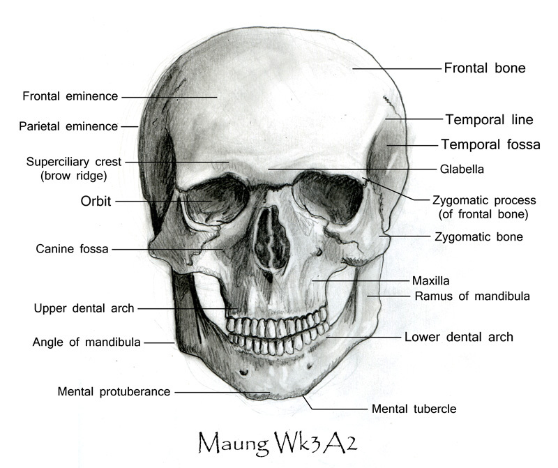 skull-front_labeled.jpg