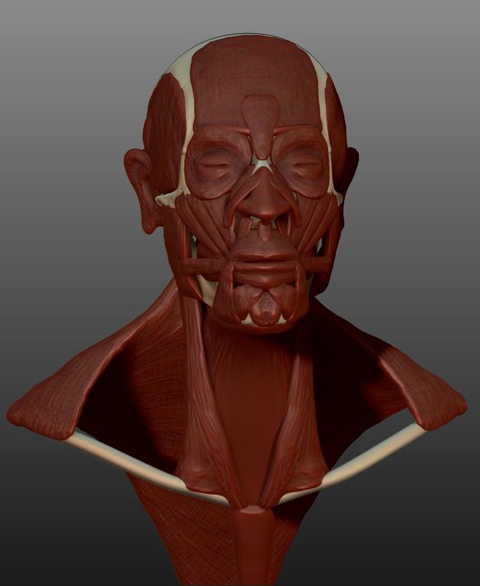 Skull w/ Muscles 01