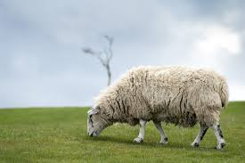GRAZING SHEEP.jpg