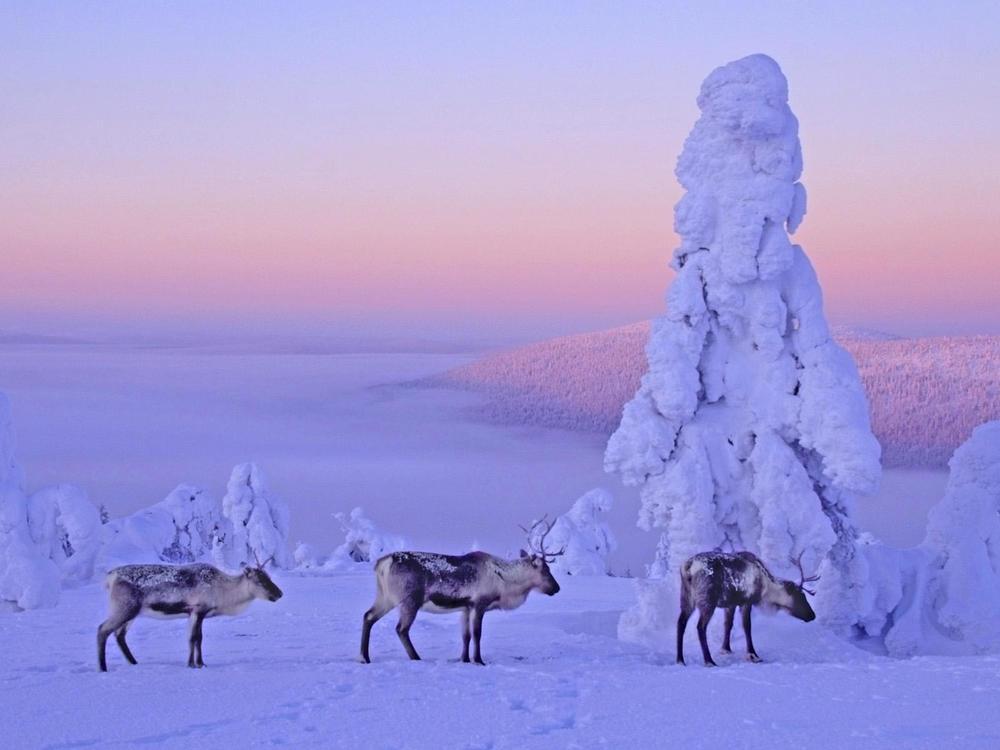 Finland Lappland reindyr.jpg