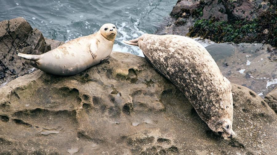 Harbor Seals photo by Francesca Scalpi