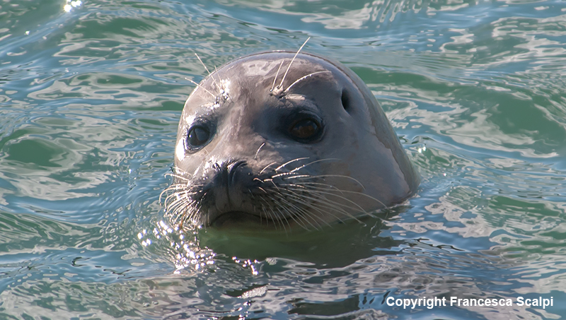 Harbor Seal in Jenner Estuary