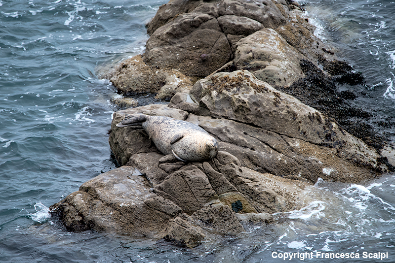 Harbor Seal By Fort Ross