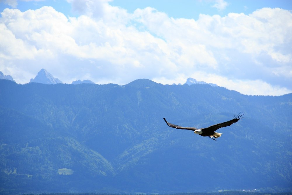 Eagle flying in mountains.jpg