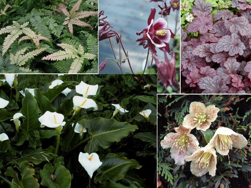 From top L:  Adiantum hispidulum ,  Aquilegia vulgaris  'Winky Mix,'  Heuchera  'Plum Pudding,'  Zantedeschia aethiopica, Clematis cirrhosa var. balearica