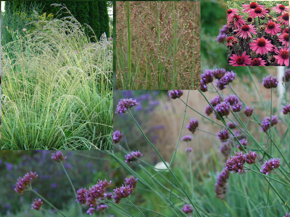 Inset from Left:  Molinia caerulea 'Variegata,' Panicum virgatum  'Heavy Metal,'  Echinacea purpurea . Background:  Verbena bonariensis