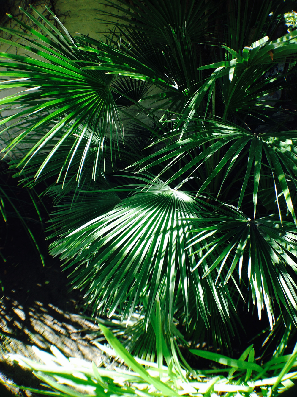 palm fronds.jpg