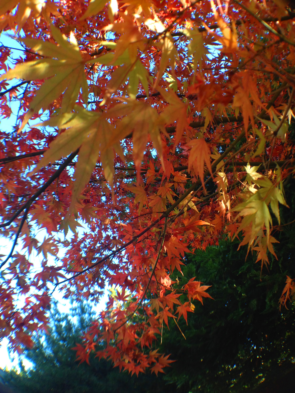maple closeup autumn.jpg