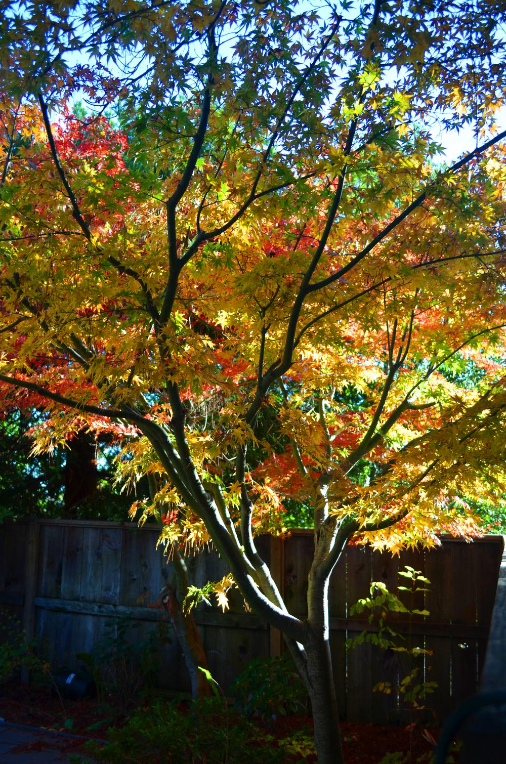 November maple.jpg