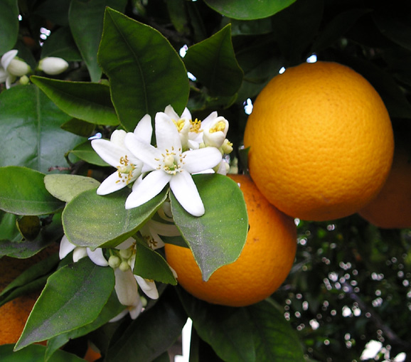 Orange fruit and blossom   Photo: Ellen Levy Finch