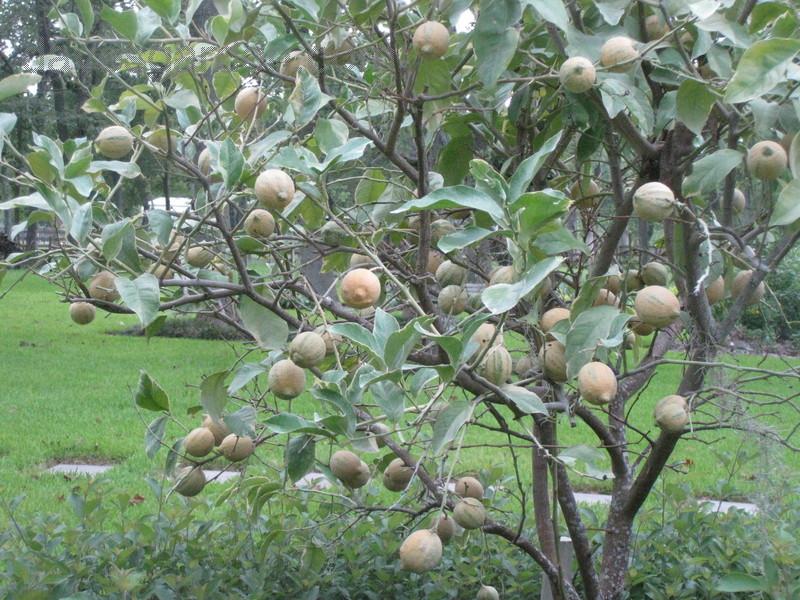 'Variegated Pink Eureka' lemon tree Photo: Dave's Garden