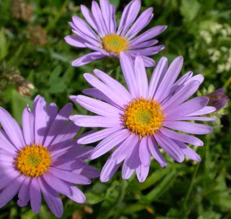 Aster Photo: Flowers Gallery