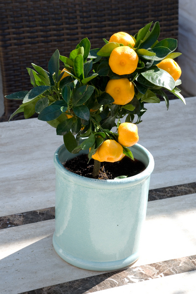 Calamondin  Photo: The Chelsea Gardener
