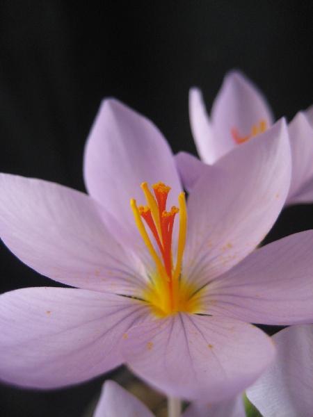 Crocus longiflorus Photo: Alpine Garden Society