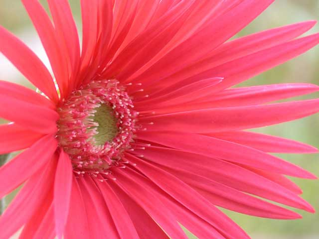 Gerbera Photo: Mercer Arboretum & Botanic Garden