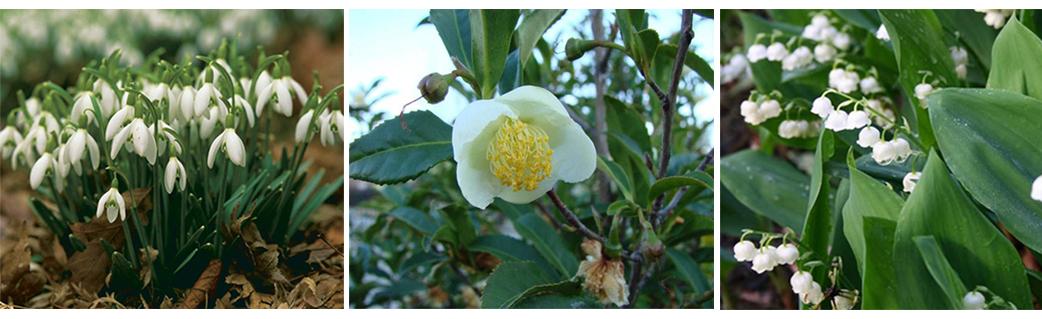 Photo, from L: Galanthus nivalis, Camellia sinensis, Convallaria majalis
