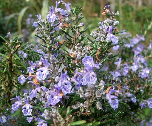 Rosemary Photo: Moosey's Country Garden