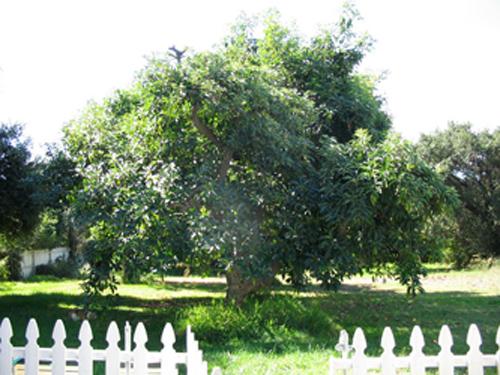Avocado tree Photo: Bill Britt