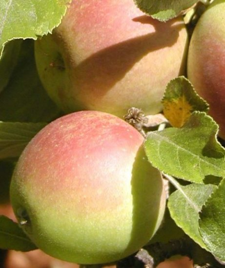 Cox's Orange Pippin apple Photo: Trees of Antiquity