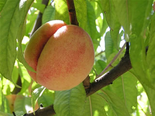George IV peach, Photo: Trees of Antiquity