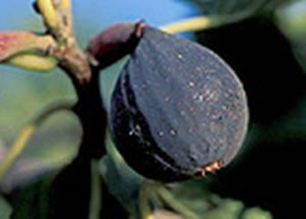Violette de Bordeux fig Photo: Trees of Antiquity