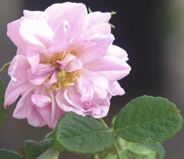 Damask rose Photo: vintagerosery.com