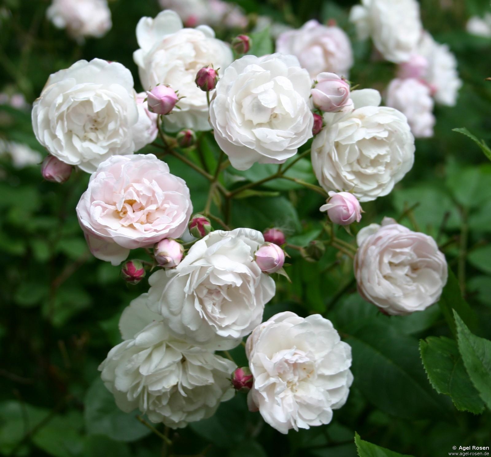Champneys' Pink Cluster rose Photo: Agel Rosen