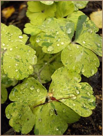 "Photo: Aquilegia vulgaris ""Woodside Gold"""