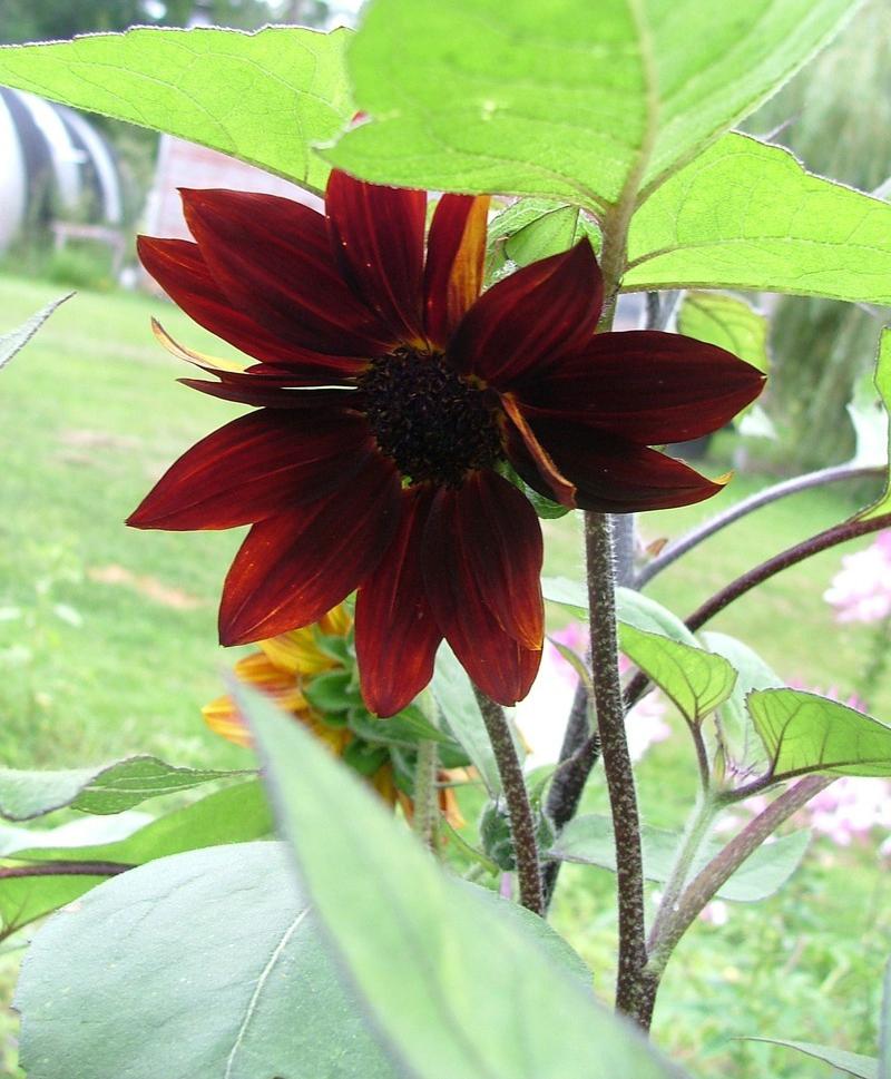 Helianthus 'Velvet Queen' Photo: Dave's Garden