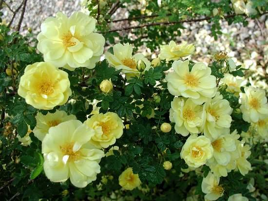 Harrison's Yellow rose Photo: Mary's Plant Farm