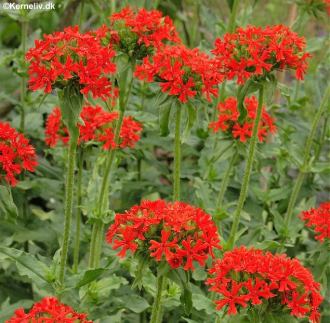 Lychnis chalcedonia Photo: kerneliv.dk
