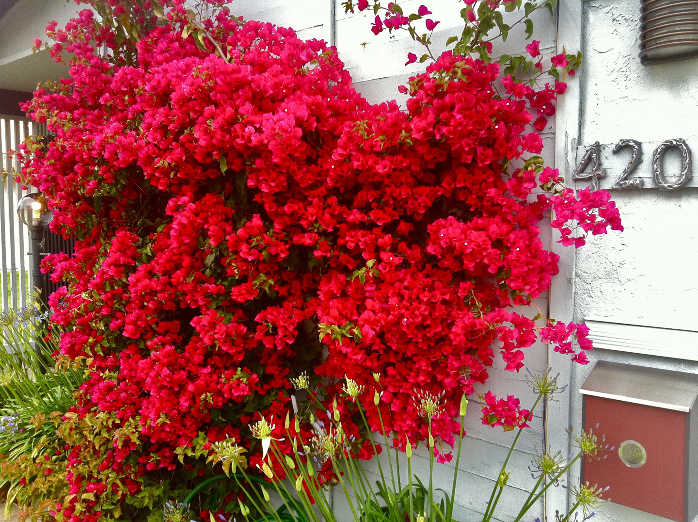 Photo: Bougainvilea 'San Diego Red'