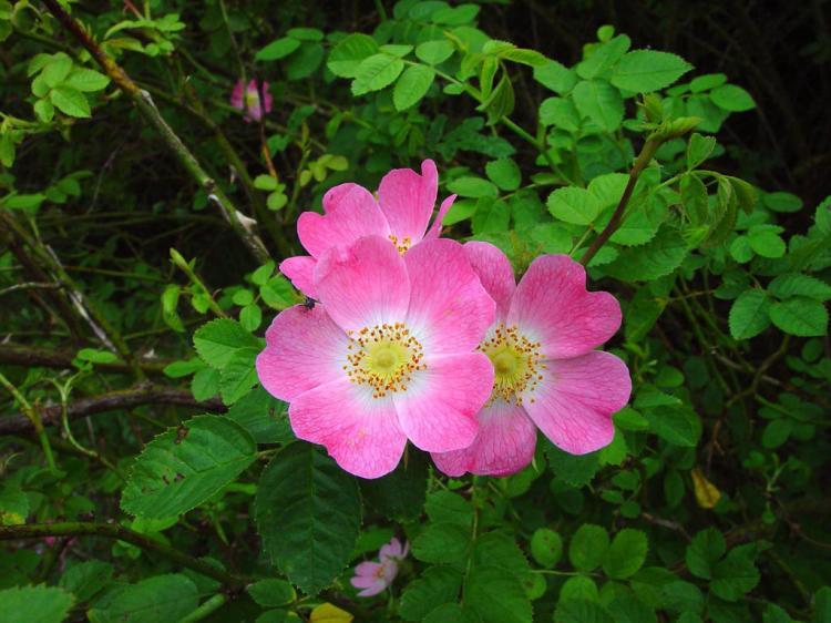 Rosa rubiginosa Photo: Zandhoogte.nl