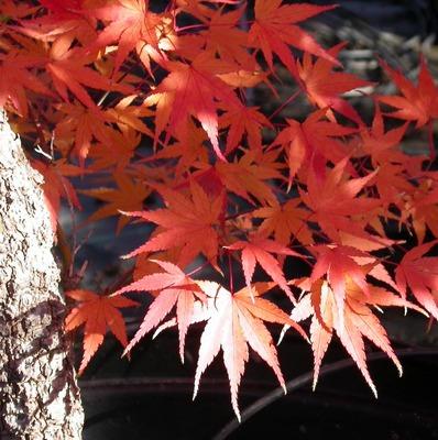 Photo: Acer palmatum 'Arakawa'