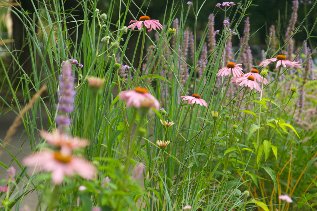 Echinacea 'Magnum', Aloysia & Verbena bonariensis   Photo: Scott Weber, July 2012