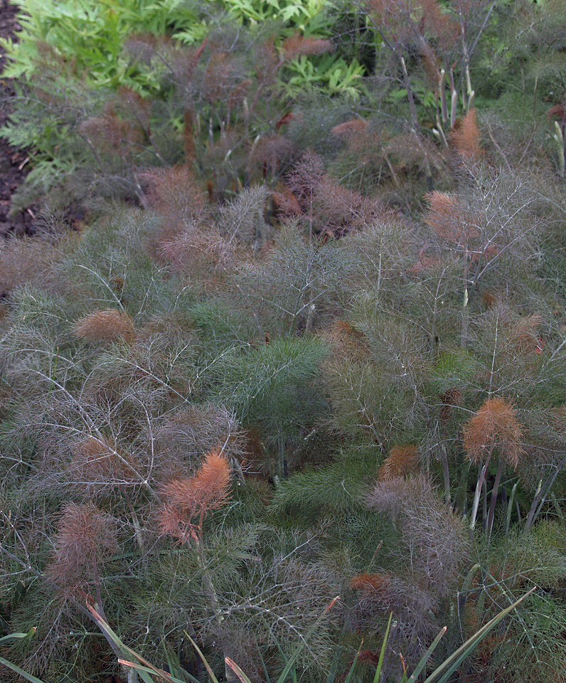 Bronze fennel   Photo: Roberto Rossi Nursery