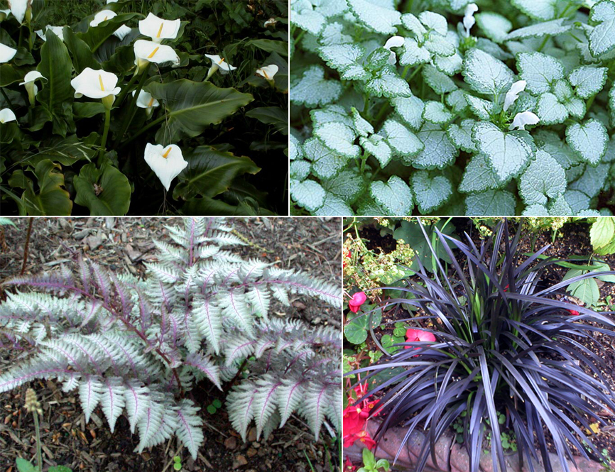 Clockwise from top L: Calla lilies, Lamium 'White Nancy',  Ophiopogon 'Nigrescens', Japanese Painted Fern