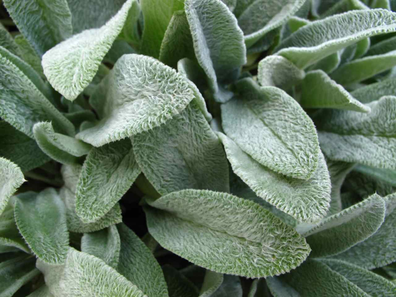 Stachys byzantina Photo: pbmgarden.wordpress.com
