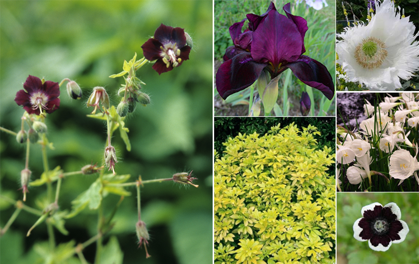 Clockwise from L: Geranium phaeum, Iris 'Ruby Chimes', Poppy 'Persian Princess', Narcissus cantabricus, Nemophila 'Penny Black', Choisya ternata 'Sundance'