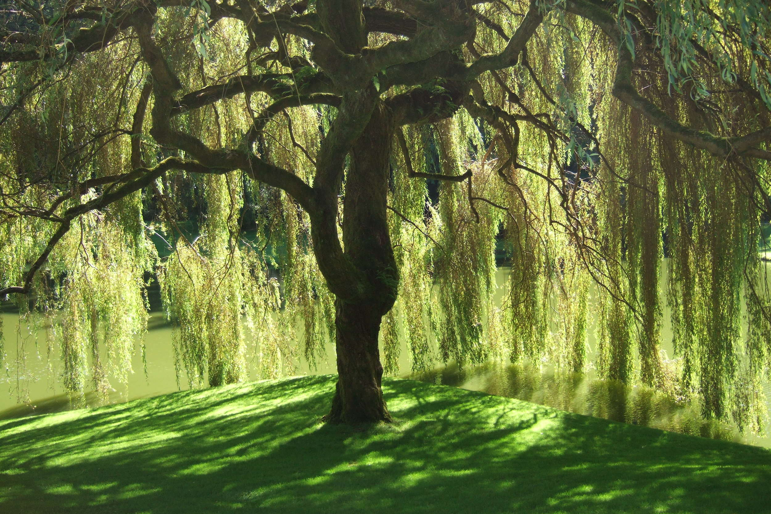 Willow tree Photo: Essi Tolling