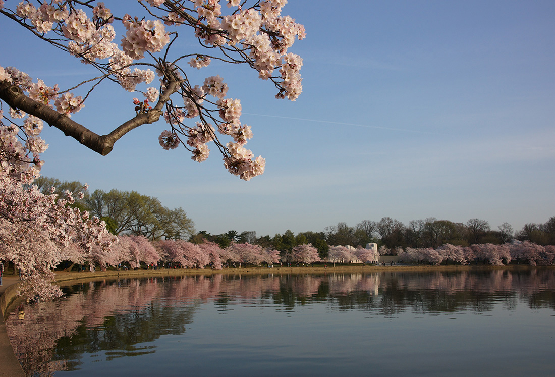 Cherry blossom, Tidal Basin, Washington D.C.  Photo: Kevin Ambrose/ The Washington Post, April 2013
