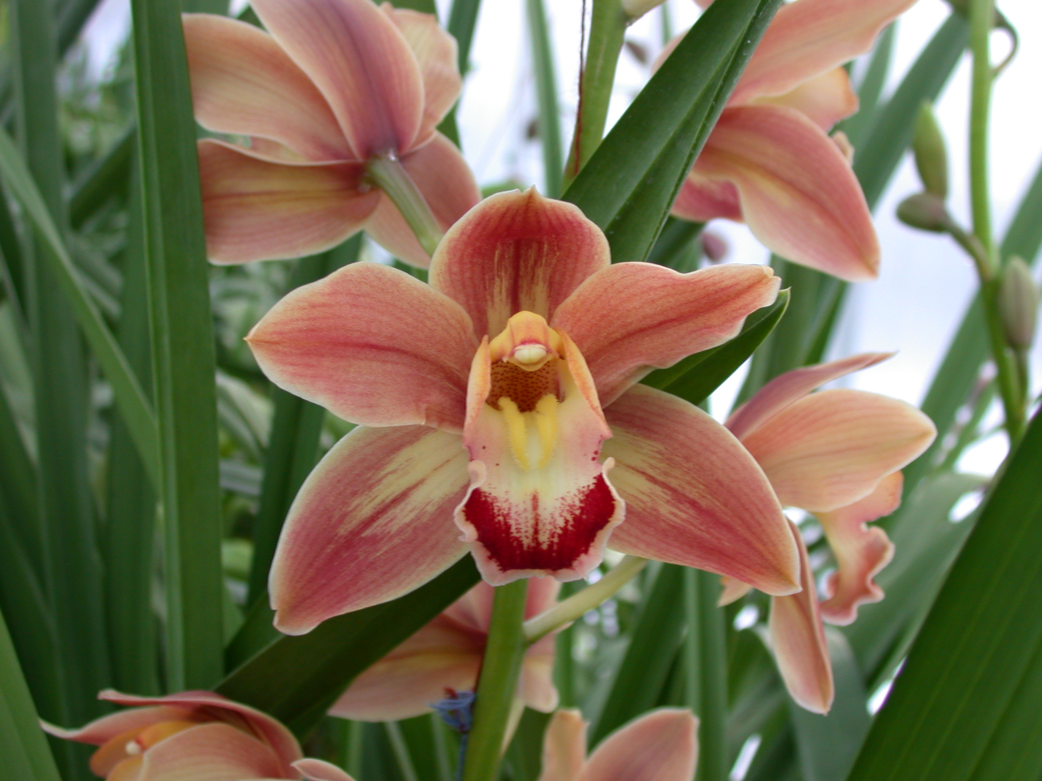 Photo: 'Frida' cymbidium