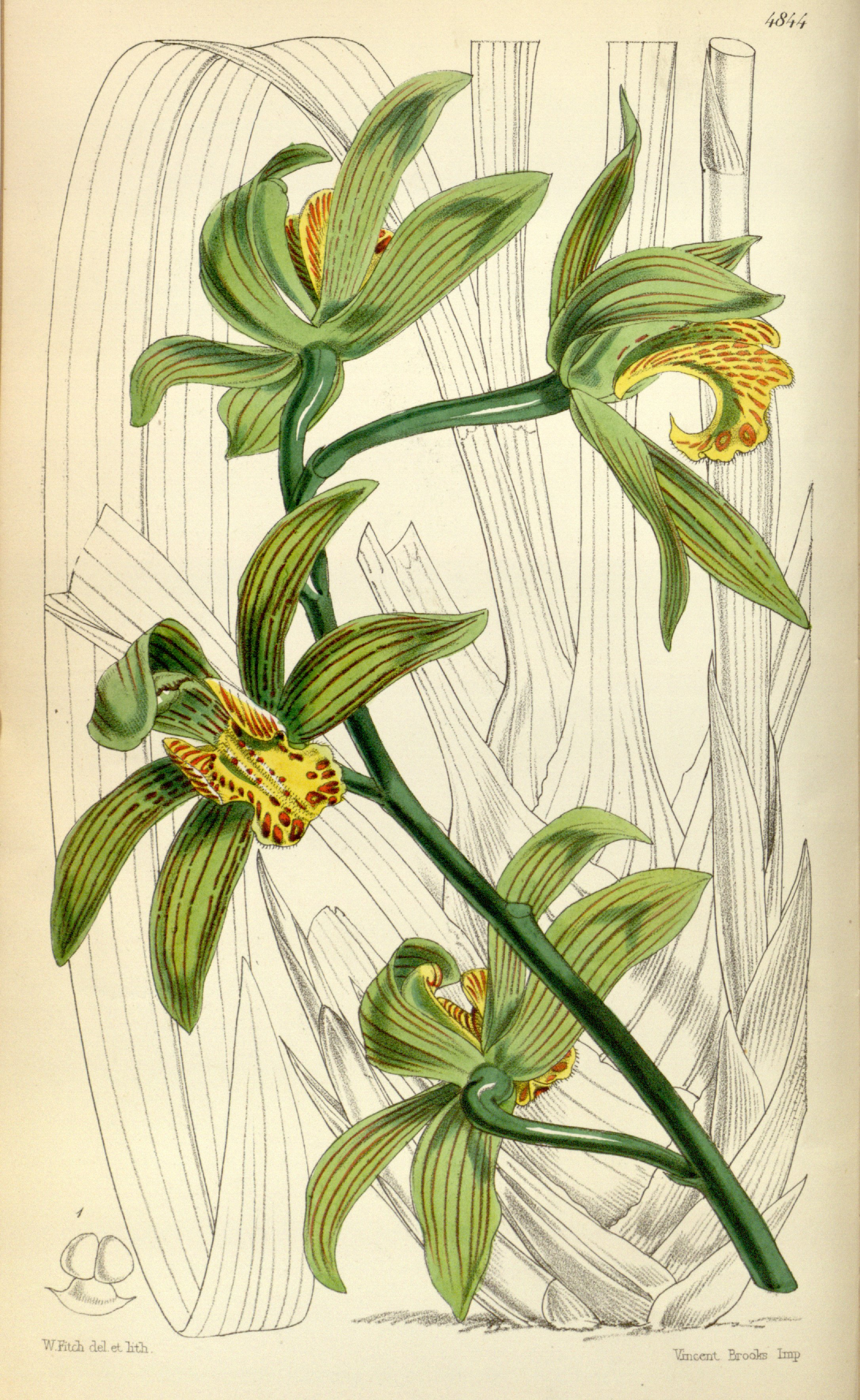 Cymbidium_iridioides_(as_Cymbidium_giganteum_Wall._ex_Lindl.)_-_Curtis'_81_(Ser._3_no._11)_pl._4844_(1855)